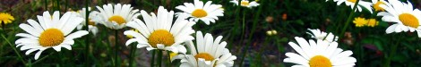 cropped-846055_35525275-daisies1.jpg